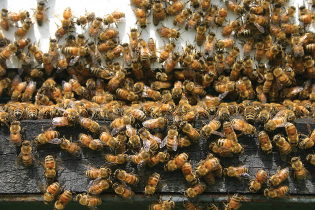 SFU study finds that bee populations may not be shrinking as much as many think. (Aldergrove Star files)