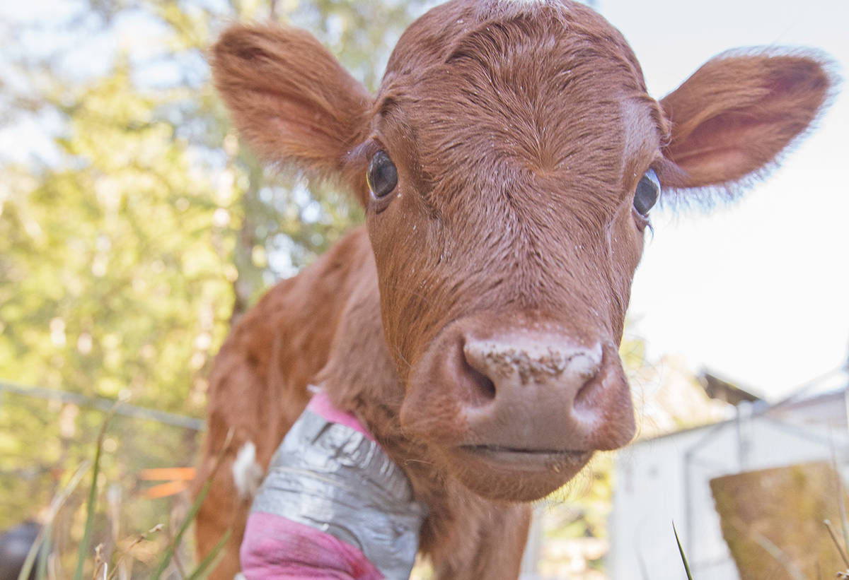 Mooshu is on the mend and is helping to raise money for a shelter facility for her unique Meares Island herd. (CARE photo)