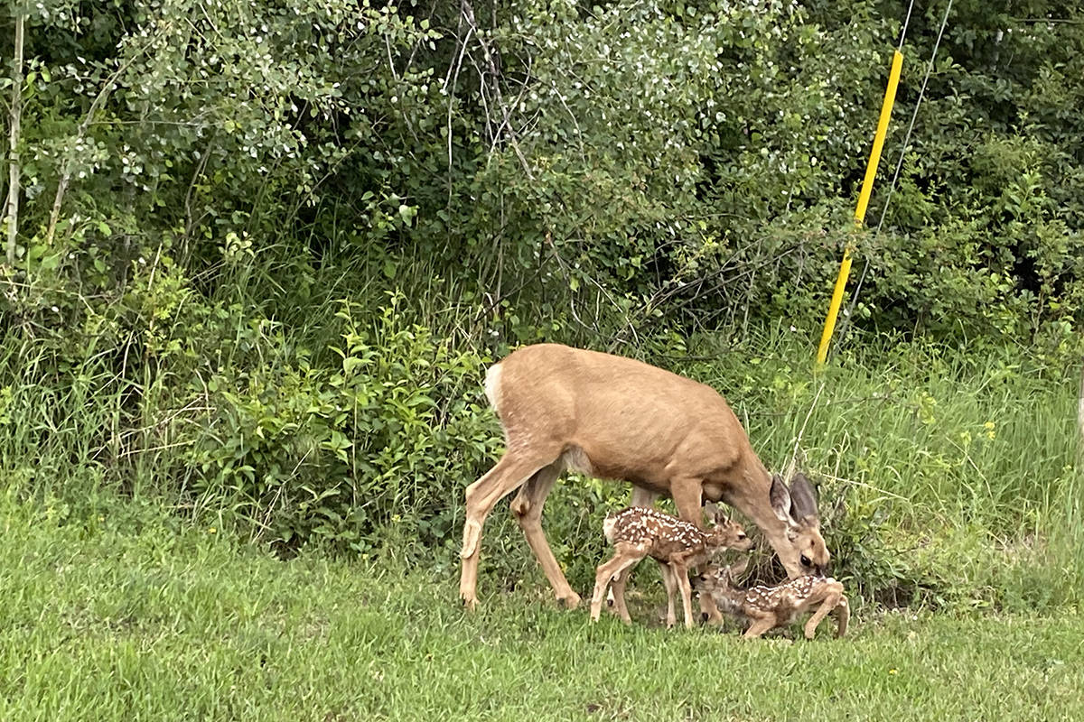 A doe with two fawns photographed in Marysville. Since Kimberley woman Liz Royer was hospitalized by a deer while walking her dog, there have been numerous reports of aggressive deer in Kimberley and Cranbrook. Paul Rodgers photo.