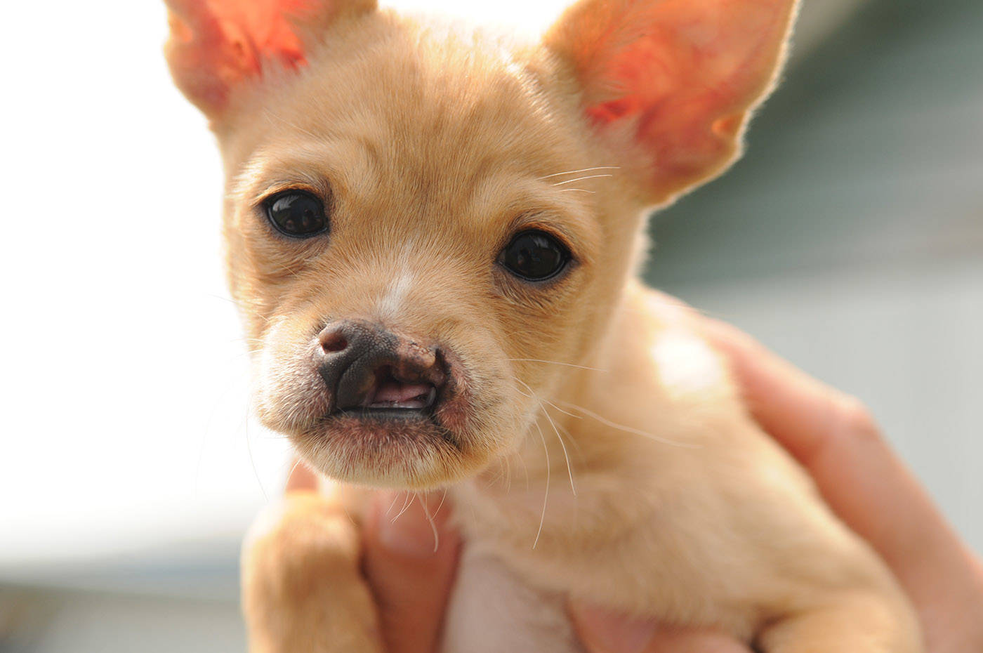 Baby Snoot is a chihuahua cross who was born with a cleft palate. He is seen here at the Chilliwack SPCA on Thursday, June 3, 2021. (Jenna Hauck/ Chilliwack Progress)