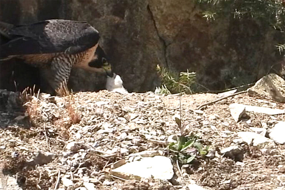 Two peregrine falcon chicks have now hatched at a quarry in Abbotsford. Operators of the quarry have had their wildlife permit suspended for the second time in a month. (Submitted photo)