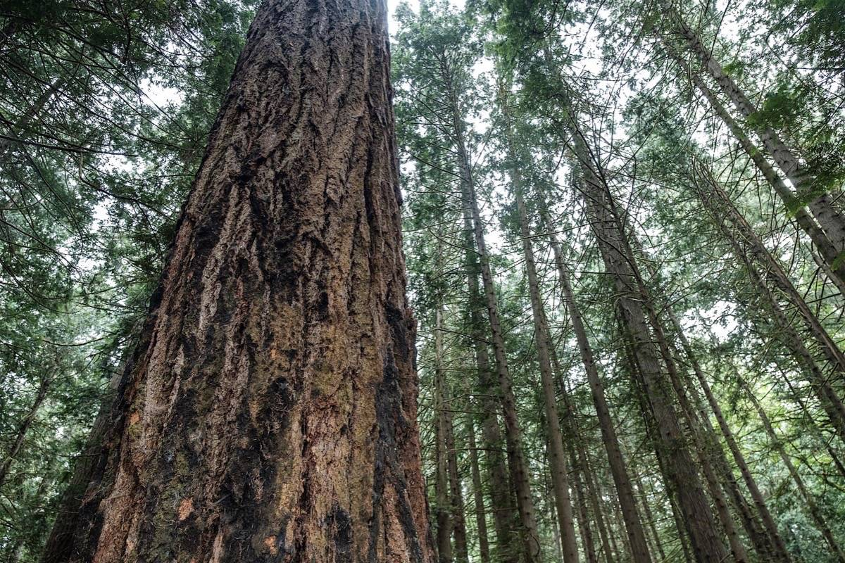 Douglas fir in Saanich, B.C., classified as old growth for a coastal tree at 250 years old or more. (B.C. government)