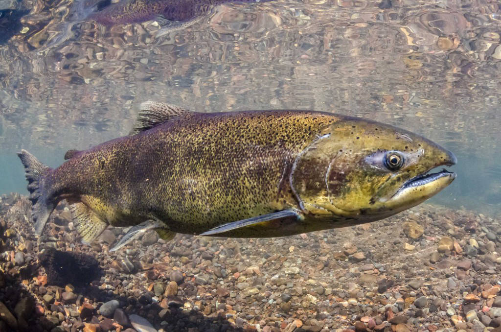 Catches and returns of chinook salmon, pictured, are declining through parts of their range. Black Press Media file photo