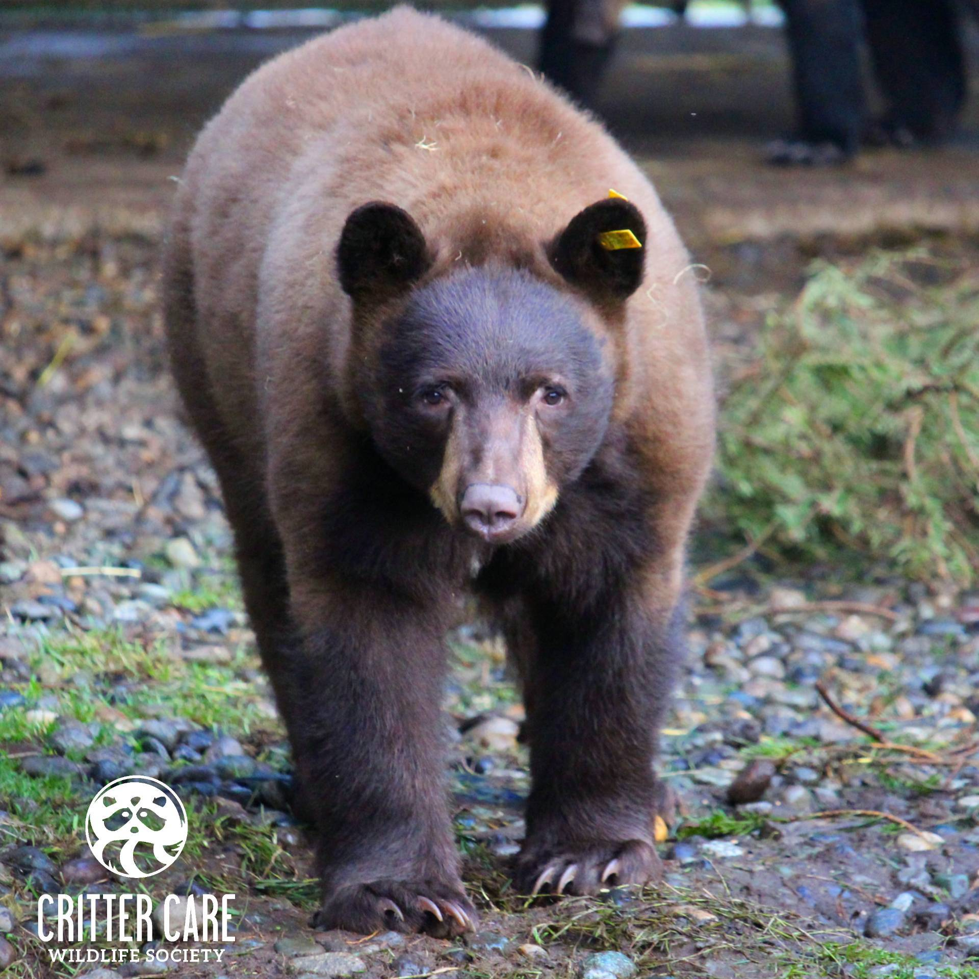 Black bear. (Critter Care Wildlife Society Facebook)