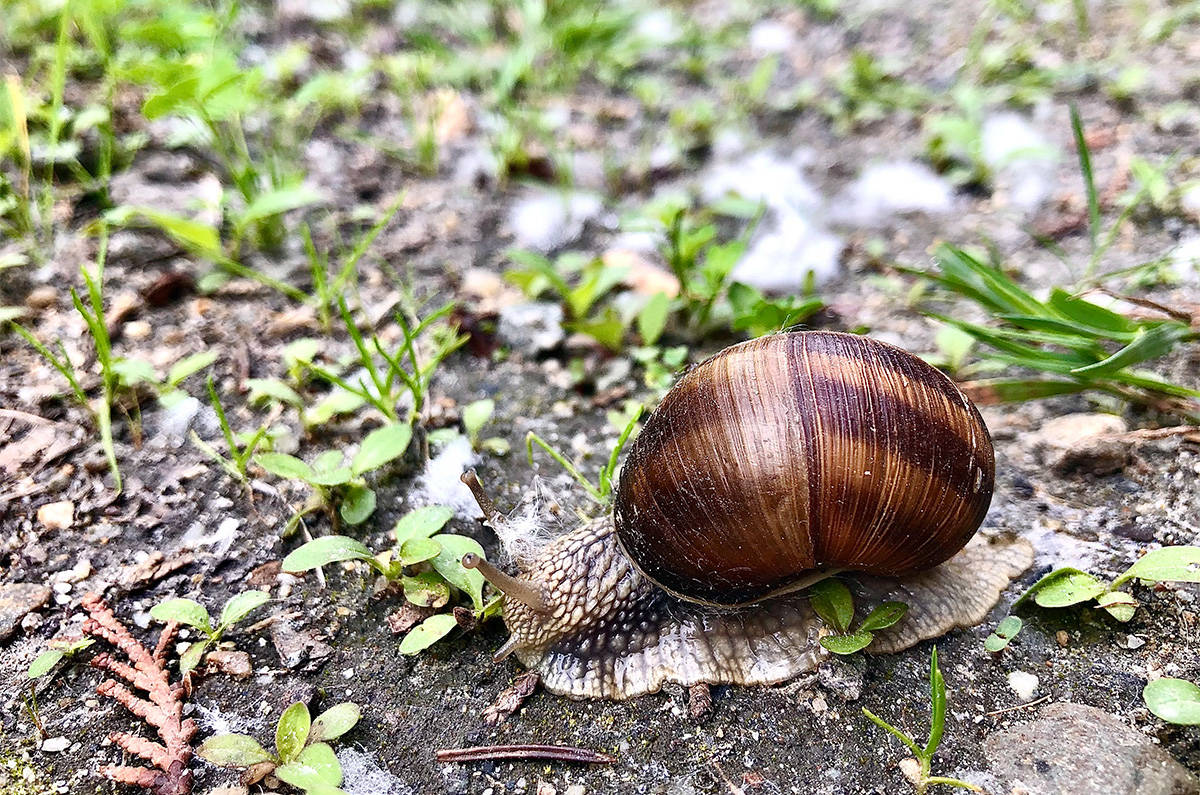 Although Roman snails are native to the Balkan region of Europe, the ancient Romans spread them across the continent as they liked to eat them. To date, the snail has only been found in three places in Canada: Montrose and Revelstoke (since 2014) in B.C. and Sarnia, ON. (Liam Harrap - Revelstoke Review)