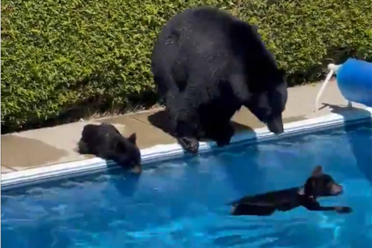 A family of bears took a dip in Coquitlam, B.C., to cool off during a record-breaking heat wave this weekend. (Lyle Jeffrey/Twitter)