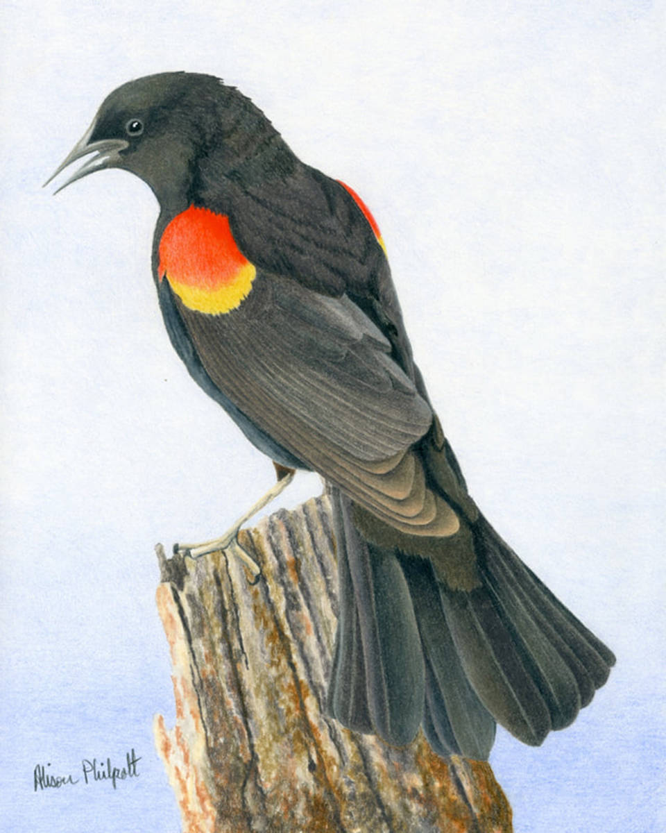 Painting of a Red-winged Blackbird is part of Fort Langley Artist Group's online artist choice exhibition. (Special to The Star)