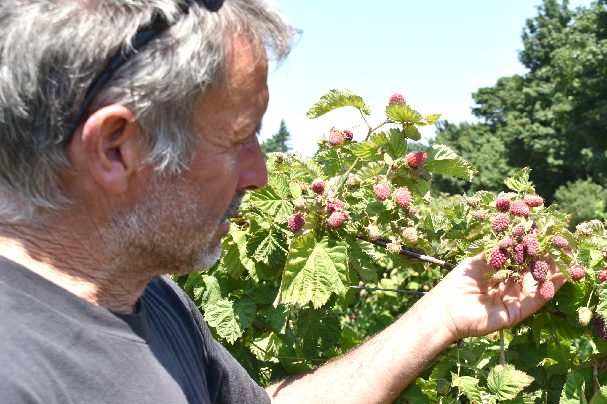 Tom Michell of Michell's Farm outside Victoria shows damage that heat caused on his raspberry crop. (Wolf Depner/News Staff)
