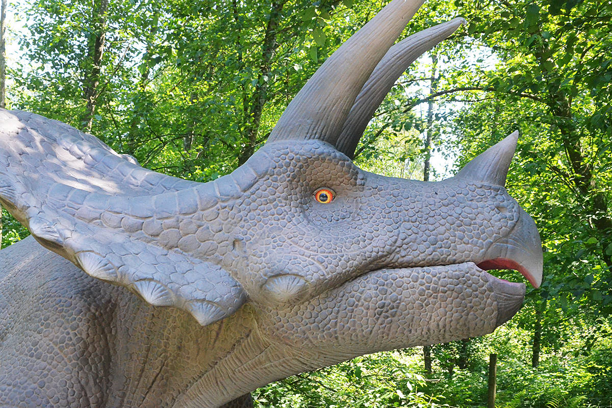 A Triceratops is a dinosaur that's part of the new Mesozoic Adventure at the Greater Vancouver Zoo. (Matthew Claxton/Black Press Media)