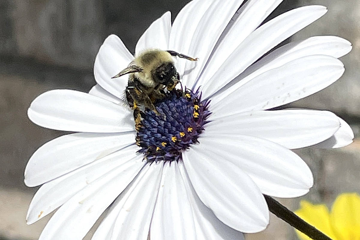 Langley City's Tracy Boyd shared a picture of a bumblebee hard at work in her flower garden.  (Special to Langley Advance Times)