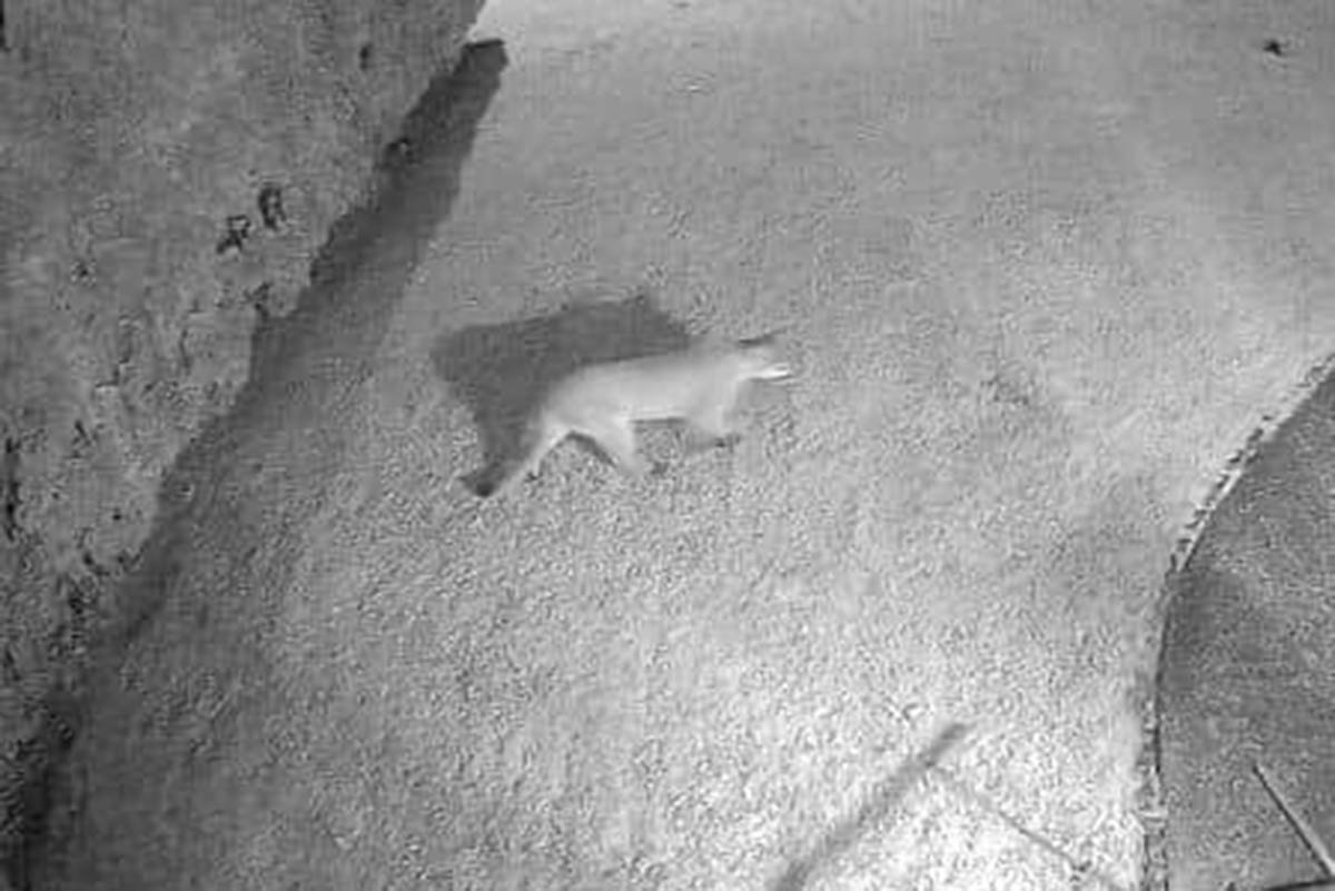 A cougar was recorded on a home security system in Aldergrove at 33 Ave and 266a Street. (Screenshot)