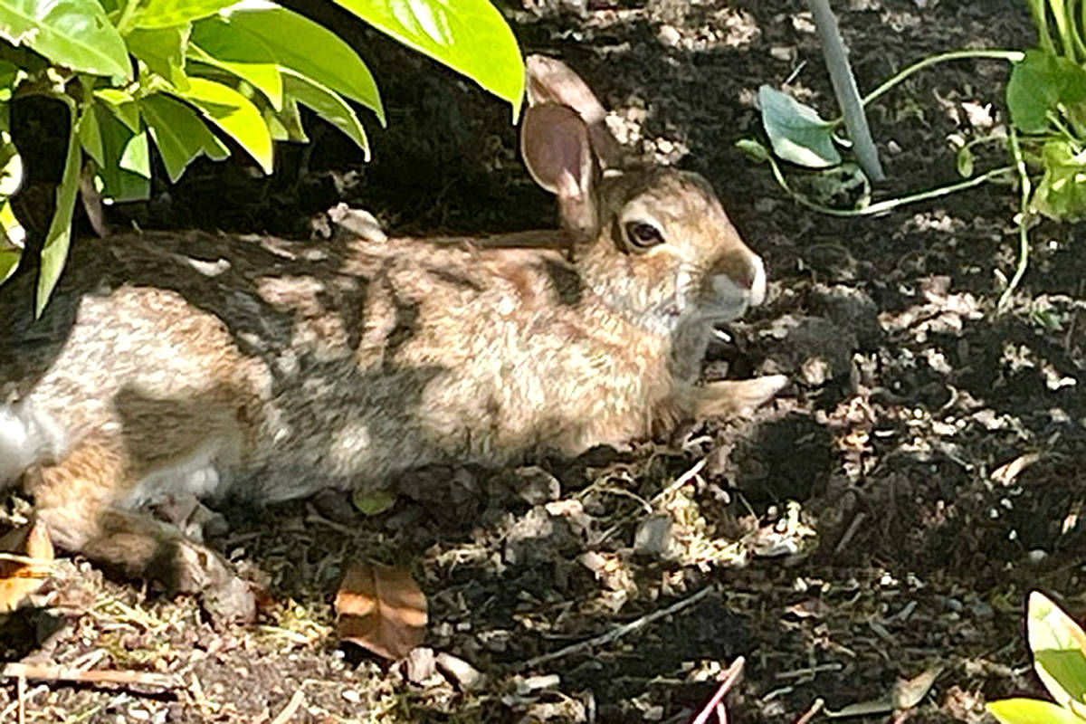 """Everyone and everything have been seeking shade and a cool place to relax lately, with this extreme heat. This rabbit was found residing in the shade by Anne-Marie Walsh. She found the rabbit lounging in her neighbour's garden in Walnut Grove. """"I was surprised the rabbit let me get that close,"""" she said, noting there's always rabbits around her place because of a nearby park. (Special to Langley Advance Times)"""