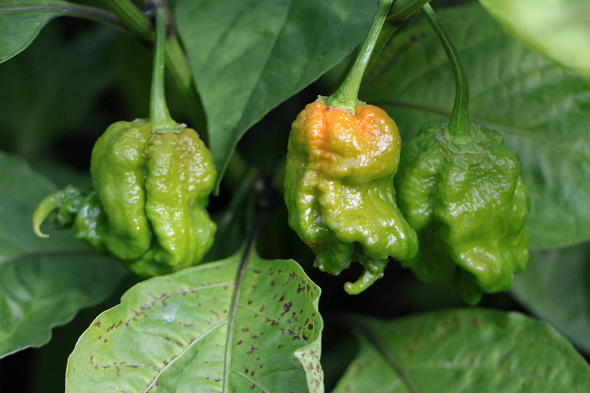 Carolina reapers, which currently hold the record for the hottest pepper in the world, grow in the Fat Chili greenhouse. (Kevin Rothbauer/Citizen)