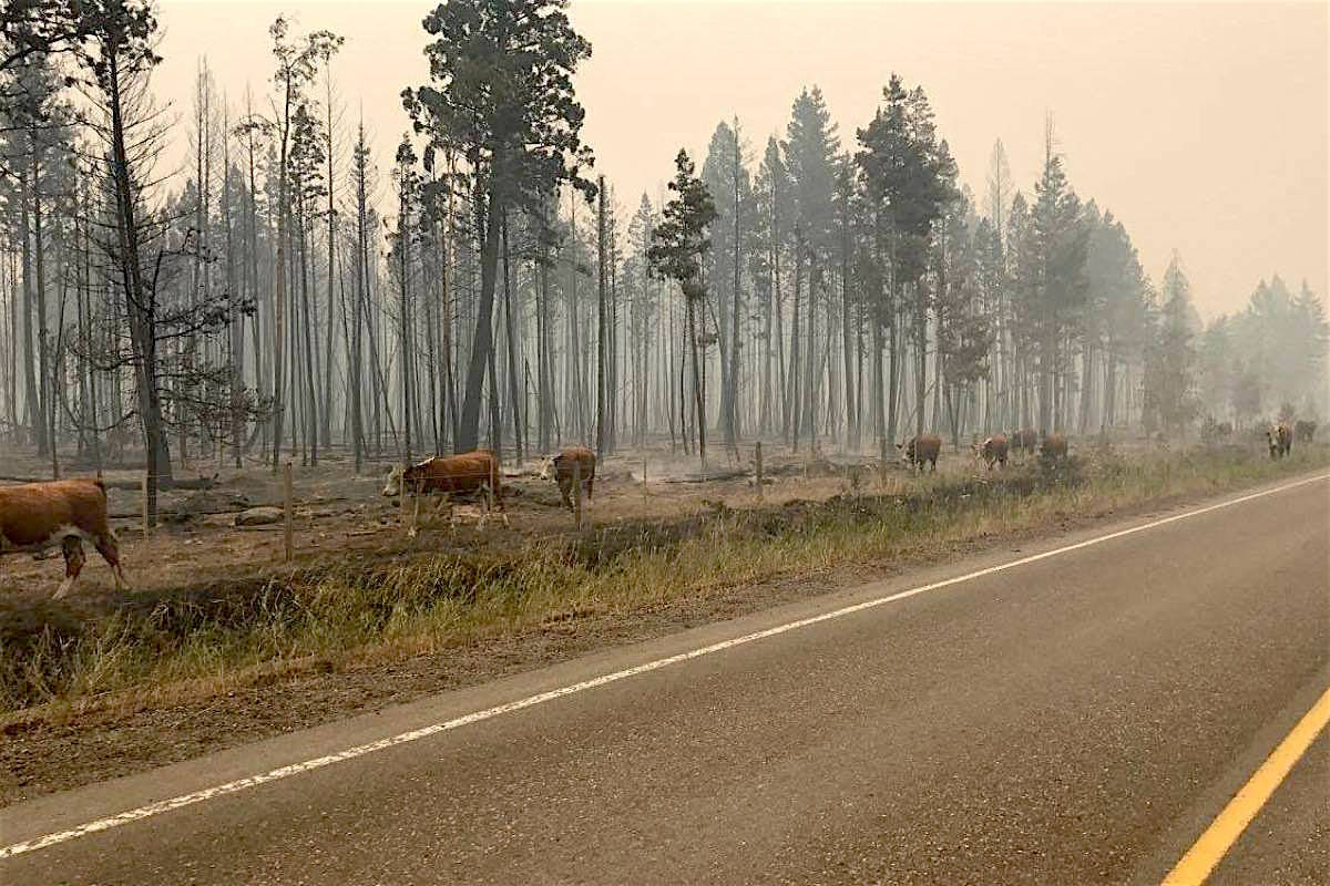 Cattle walk past burned-out forest area along Highway 20 west of Williams Lake during the 2017 B.C. wildfire season. (Coast Mountain News)