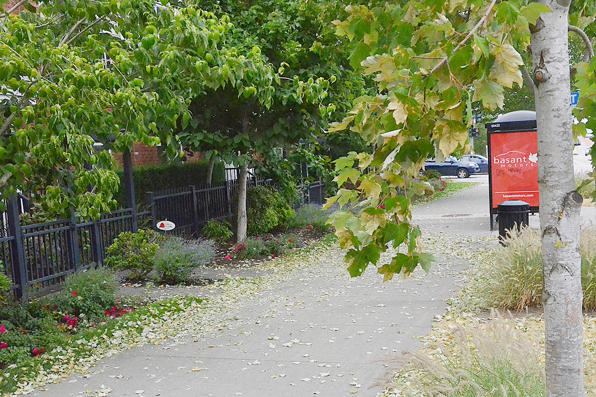 Some street trees in Langley are shedding their leaves following the extreme heat. (Matthew Claxton/Langley Advance Times)