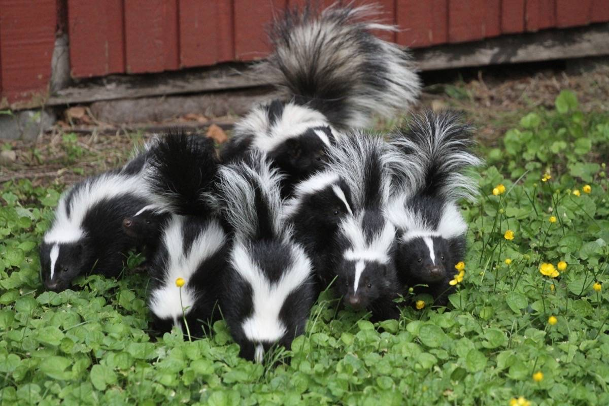 South Surrey's Jacek Kaim got an honourable mention in last year's contest for this photo of a skunk family. (Jacek Kaim photo)