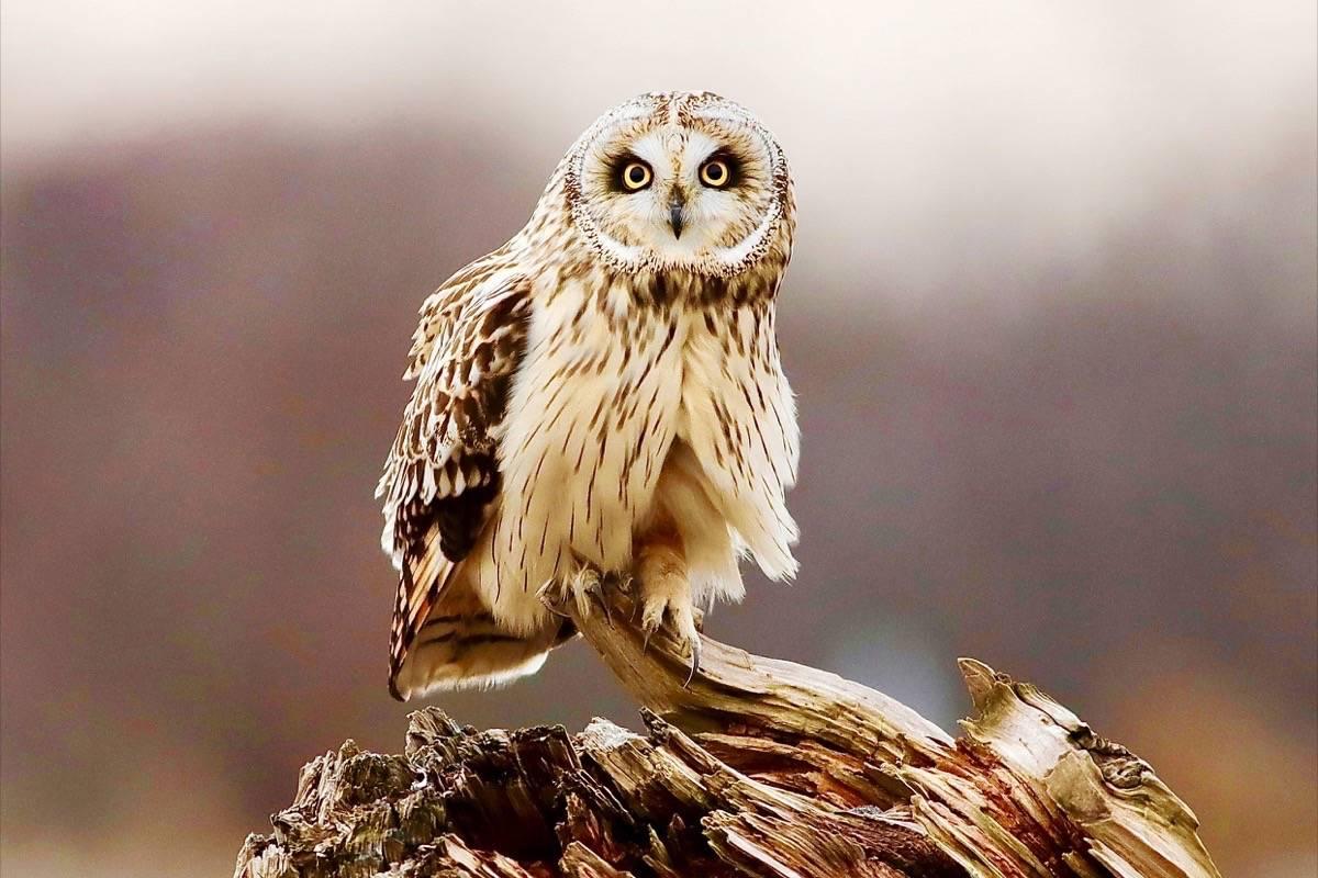 Short-eared owl. (Greg Peterson photo)