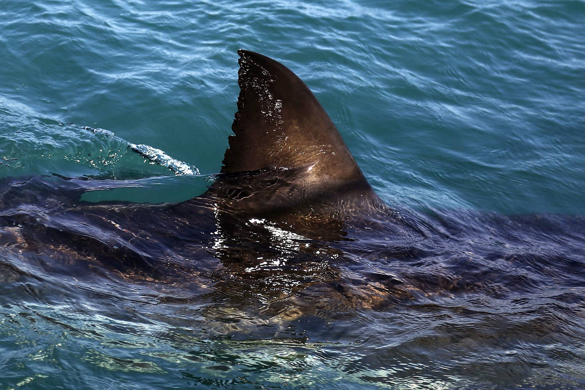 FILE - In this Thursday, Aug. 11, 2016, file photo, the fin of a great white shark is seen swimming a past research boat in the waters off Gansbaai, South Africa. (AP Photo/Schalk van Zuydam, File)