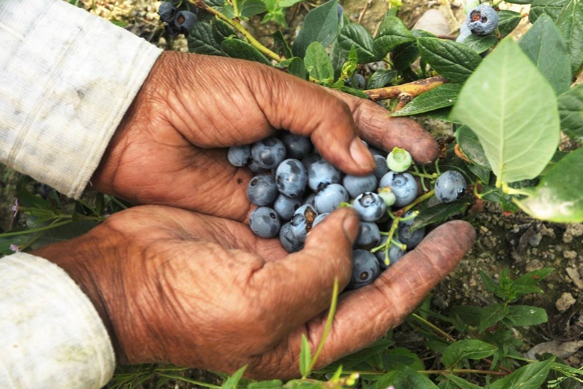 The recent heat wave may have spared later variety of blueberries. (The News files)