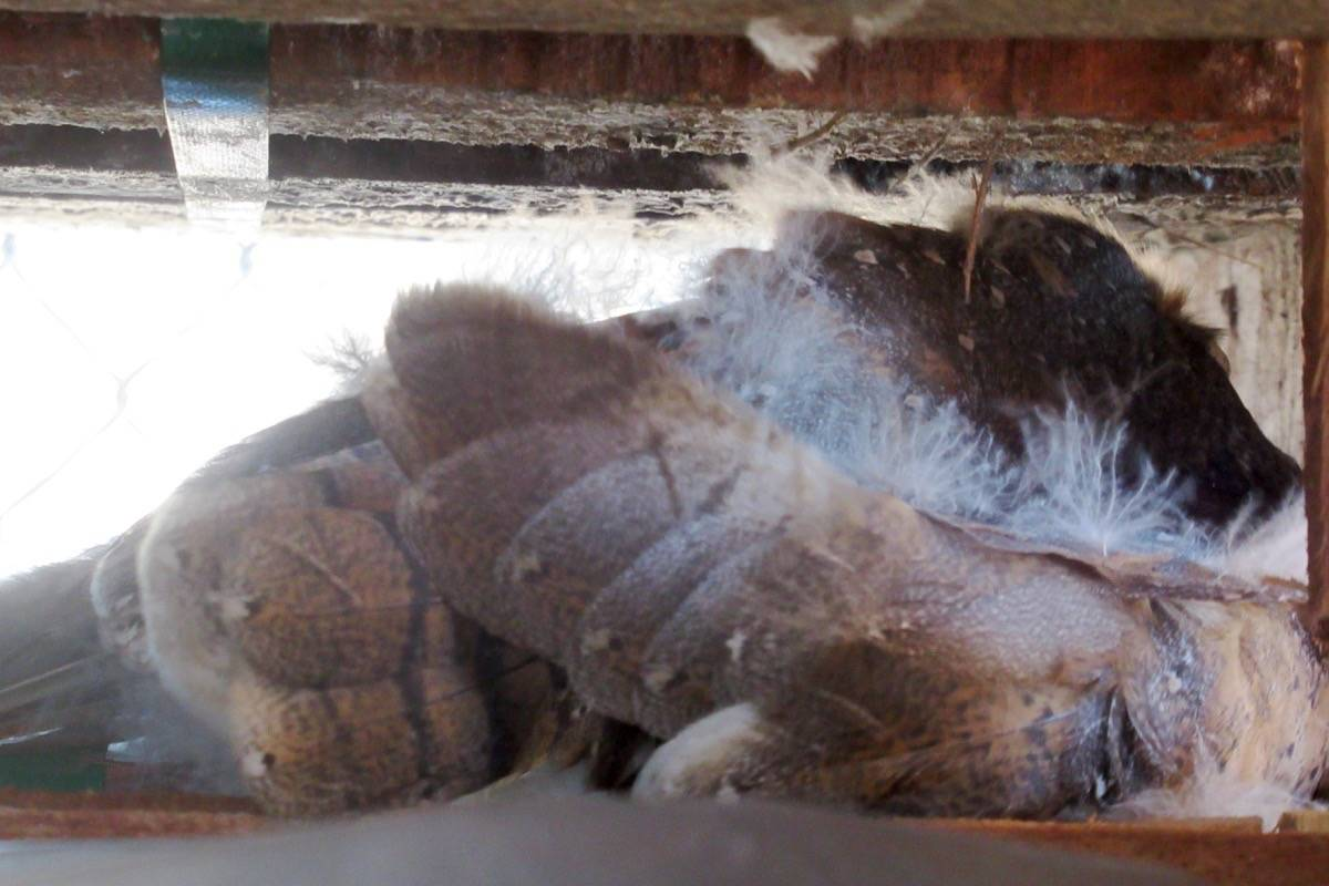 A barn owl is trapped between towers of pallets at Art Knapp in South Surrey, following a crow attack. (Contributed photo)