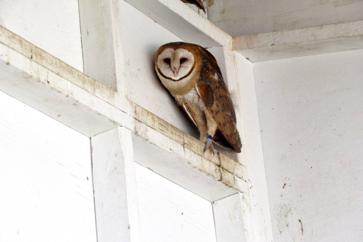 This barn owl, rescued in South Surrey on June 25, 2021, is recovering and will soon be ready for banding and release, officials say. (June Young photo)