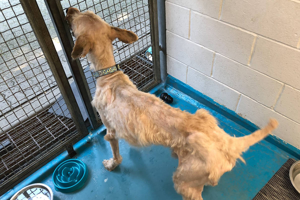 Gator, who was abandoned at a doggy daycare, after having four kilograms of matted fur cut off. (BC SPCA)