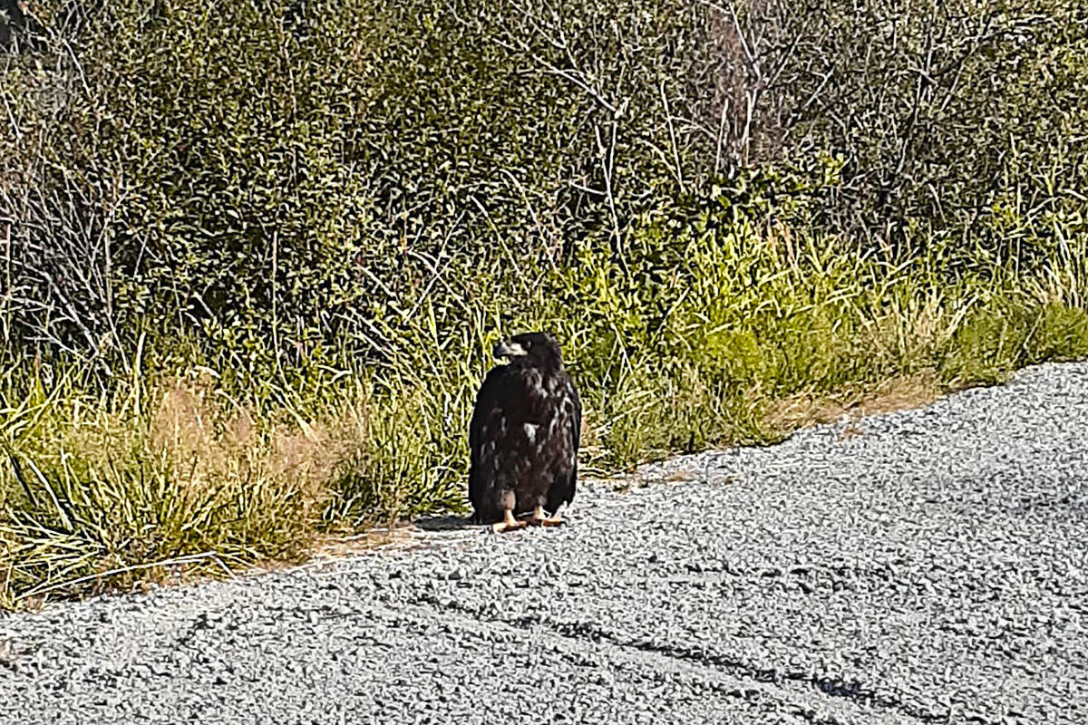 Jade Werger and Melissa Del Cid Moon spotted the baby bald eagle and noticed it wasn't moving. They then called the SPCA who told them about OWL. (Jade Werger/Special to The News)