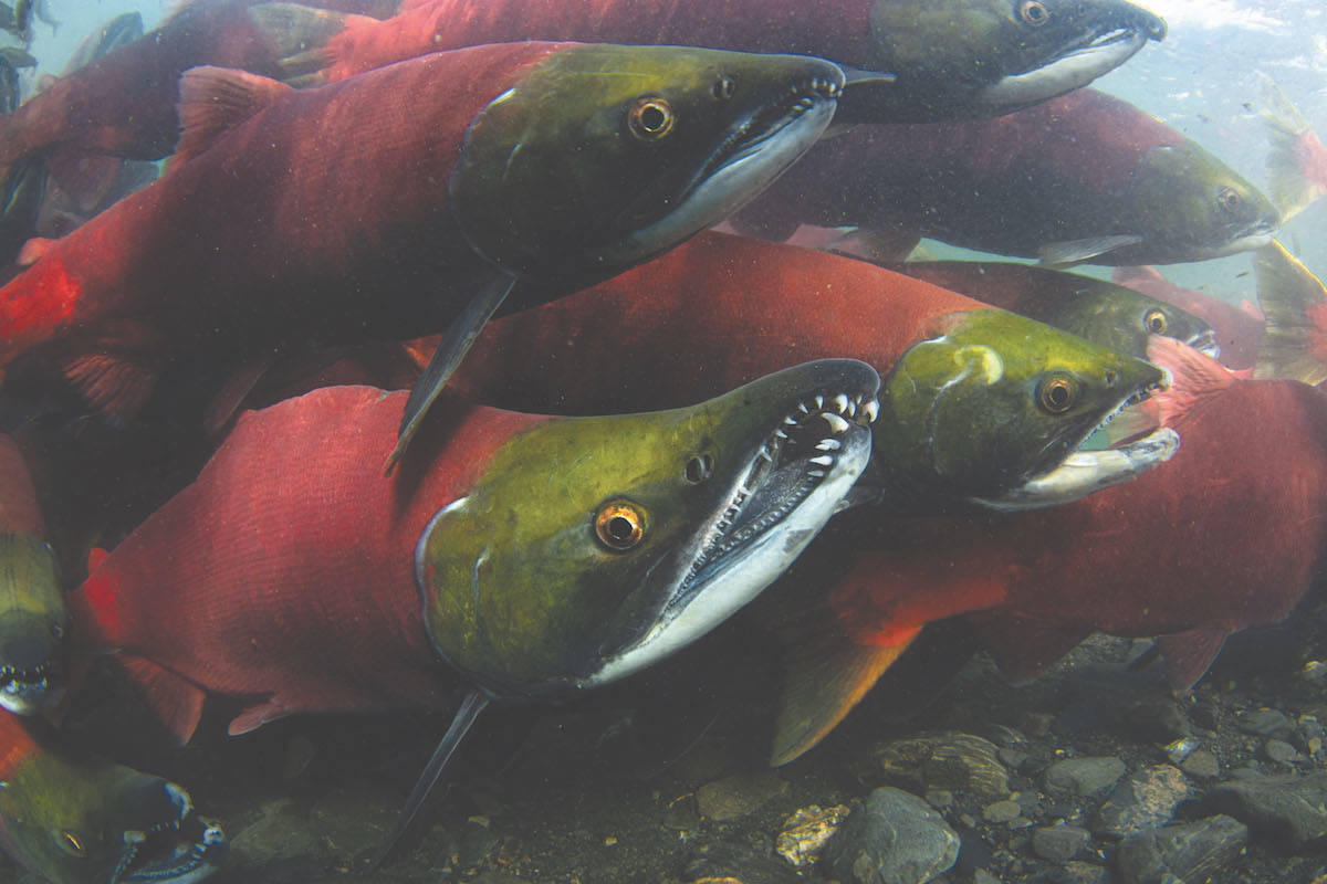 A University of Toronto study has found the environmental DNA of pathogens harmful to fish are 2.7 times more likely to be detected near active salmon farms versus inactive sites. (Kenny Regan photo)
