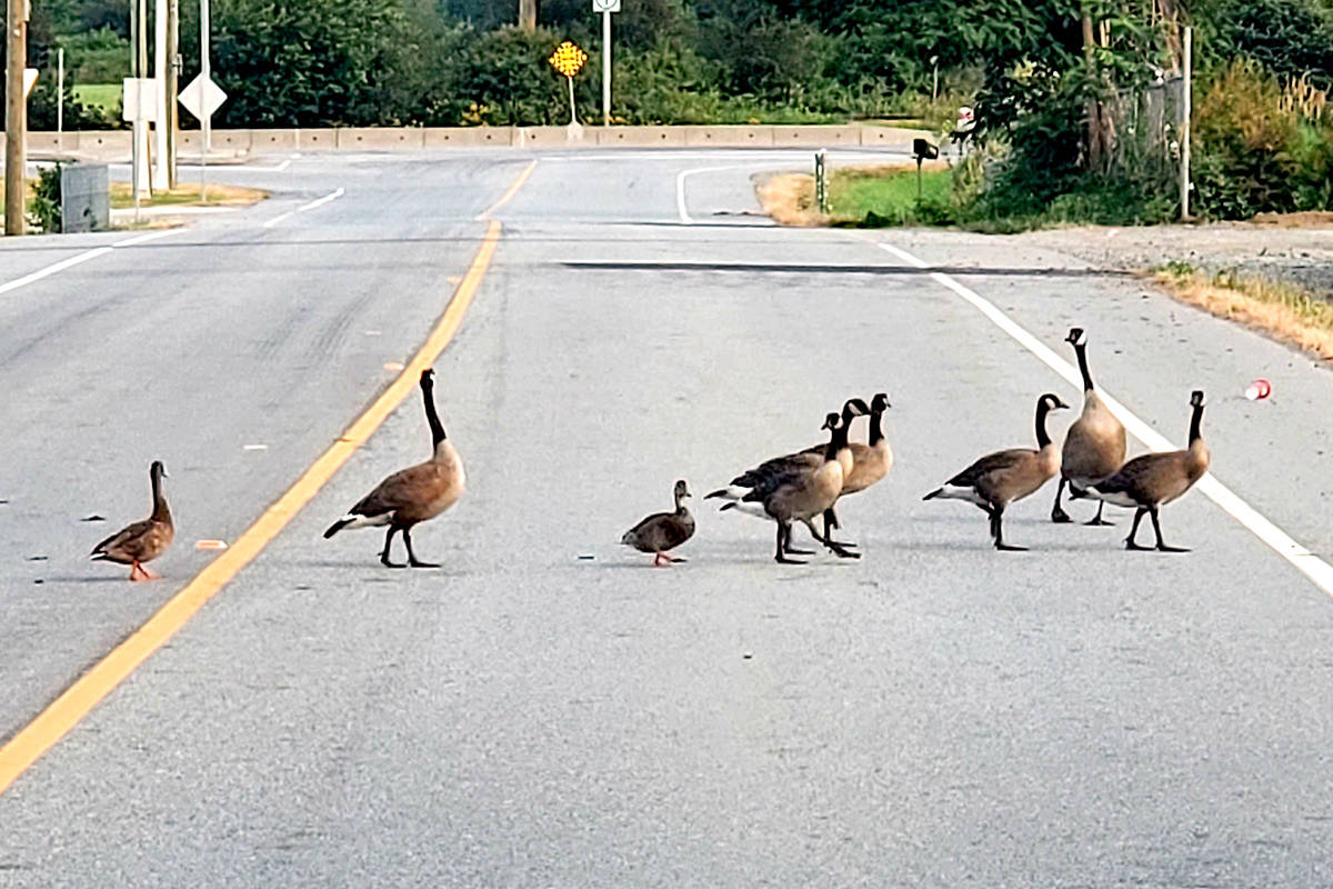 """Motorists travelling 64th Avenue, just east of Glover Road, are frequently forced to slow down or stop for wildlife crossing in their path. This time, Jim Orlowski and other folks were stuck in traffic, waiting for a flock of birds to cross the road – the gaggle including a family of geese with a few ducks mixed in. """"Wondering why the birds crossed the road?"""" Orlowski queried. Of course, the answer is simple, he said. To find out what's on the other side. (Special to Langley Advance Times)"""