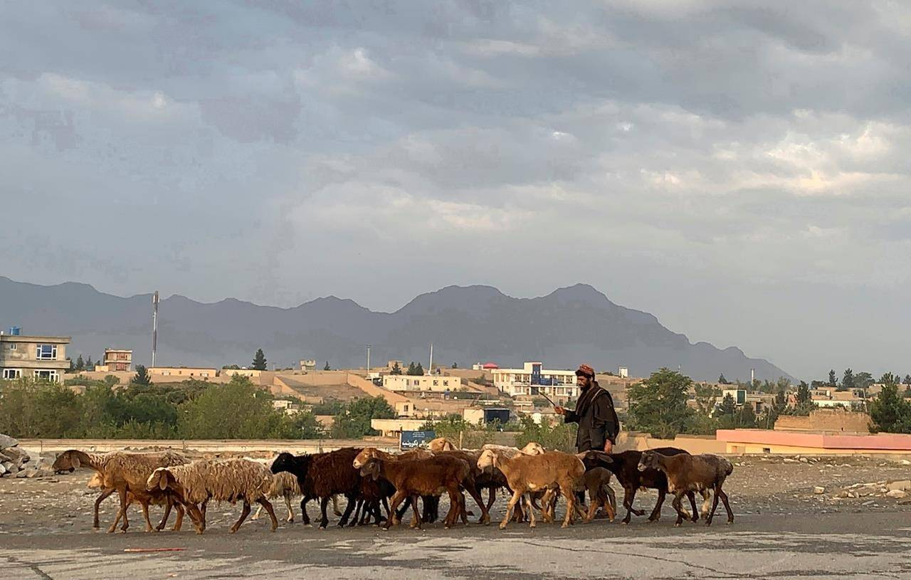 """An Afghan man walks his sheep to a market for sale during the Eid al-Adha festival in Kabul, Afghanistan, Tuesday, July 20, 2021. Eid al-Adha, or """"Feast of the Sacrifice,"""" commemorates the Quranic tale of Prophet Ibrahim's willingness to sacrifice his son as an act of obedience to God. (AP Photo/Rahmat Gul)"""
