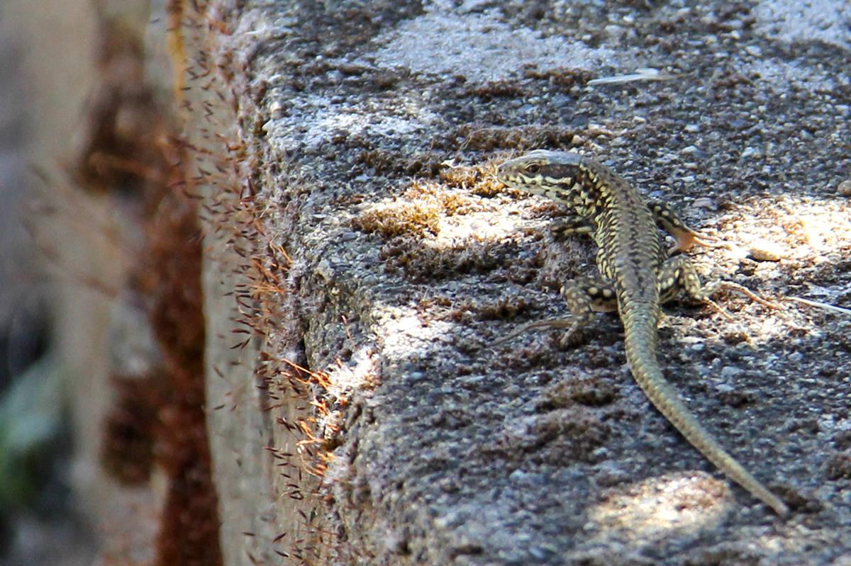 A common wall lizard scrambles across a concrete wall in a Saanich yard. July 15, 2021 (Christine van Reeuwyk/News Staff)