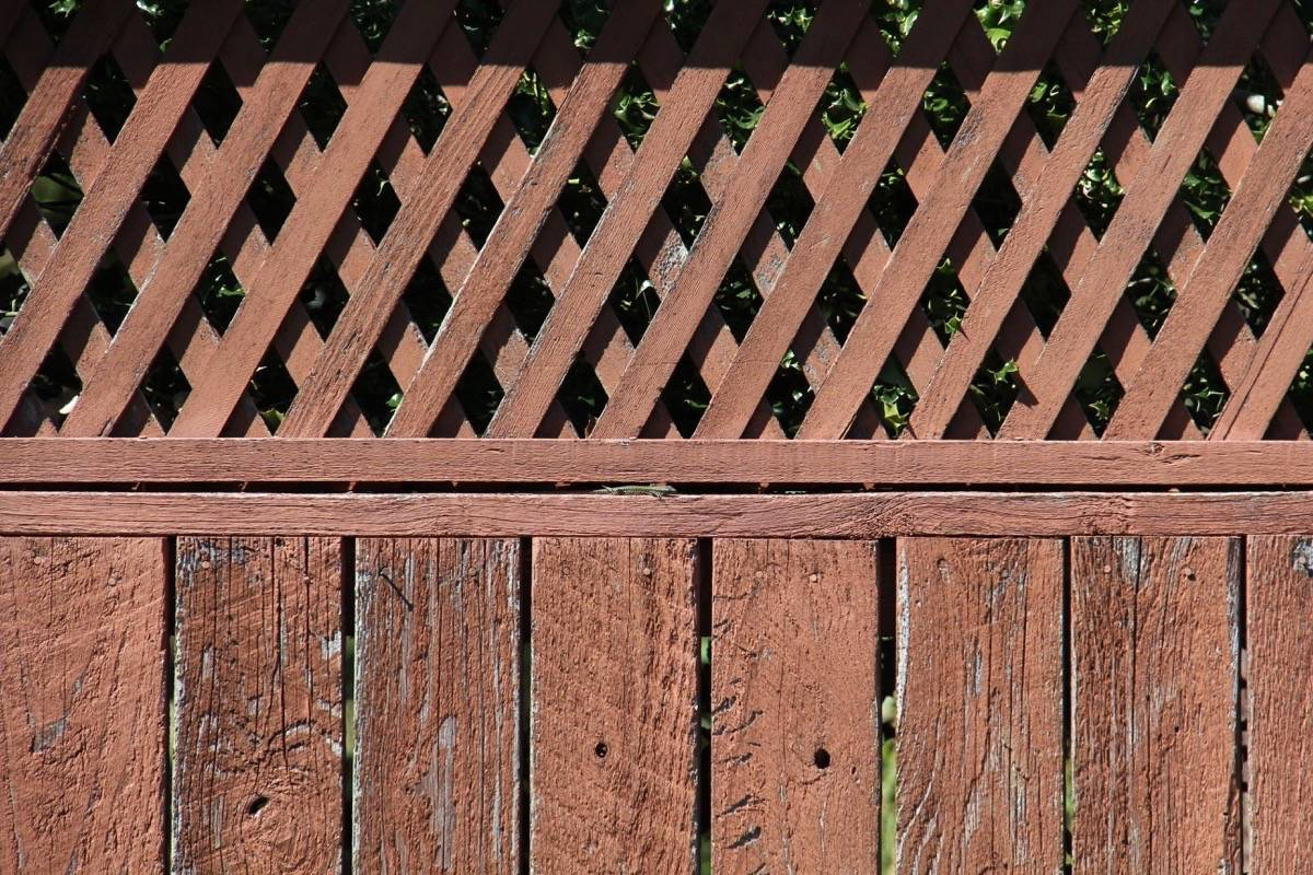 A common wall lizard hides out in a Saanich fence. July 15, 2021 (Christine van Reeuwyk/News Staff)