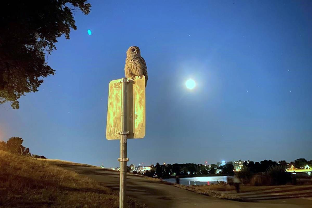 An owl rest of a signpost in near the seawall in Vancouver on Tuesday, July 20, 2021. THE CANADIAN PRESS/Alam Hina