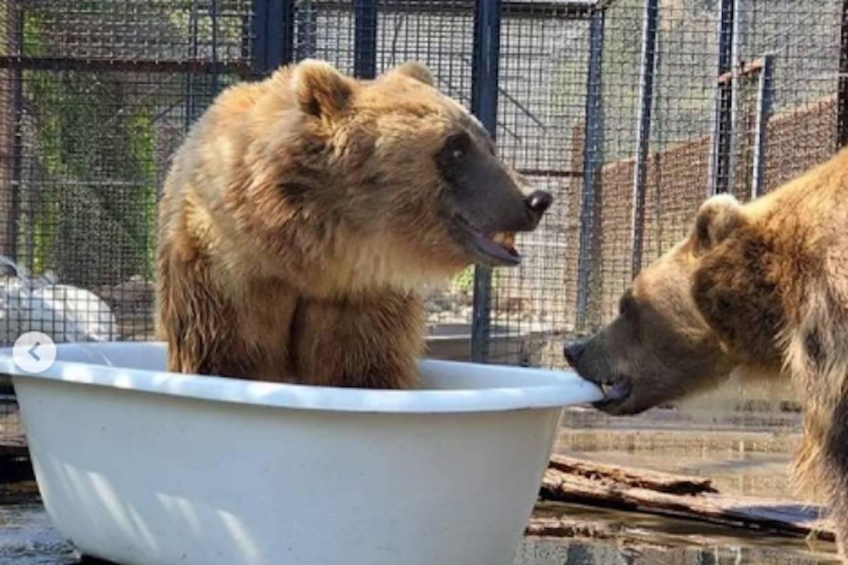 Bears play in a tub. (BC Wildlife Park)