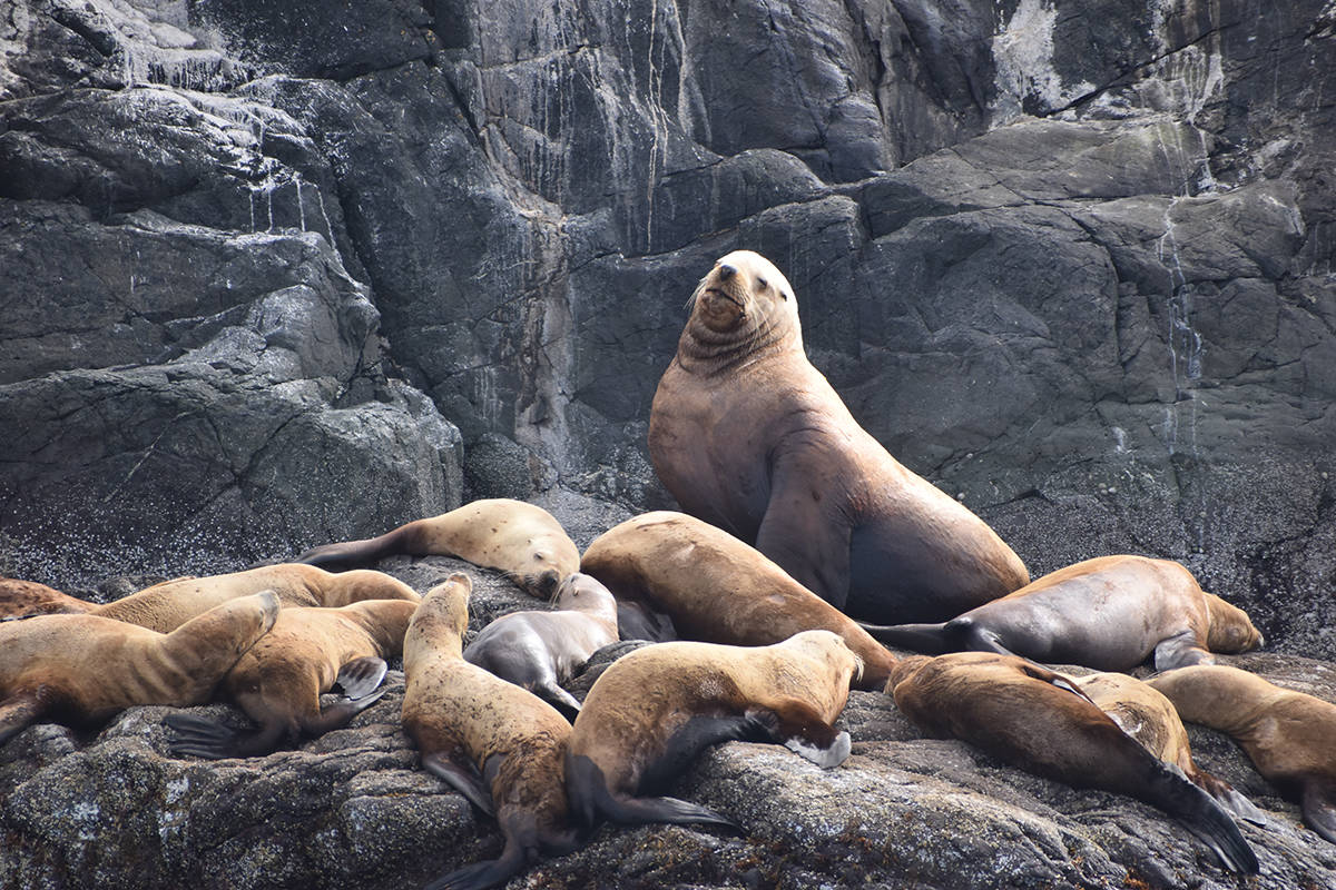 A large sea lion is surrounded by a herd on Mitlenatch Island. Photo by Terry Farrell