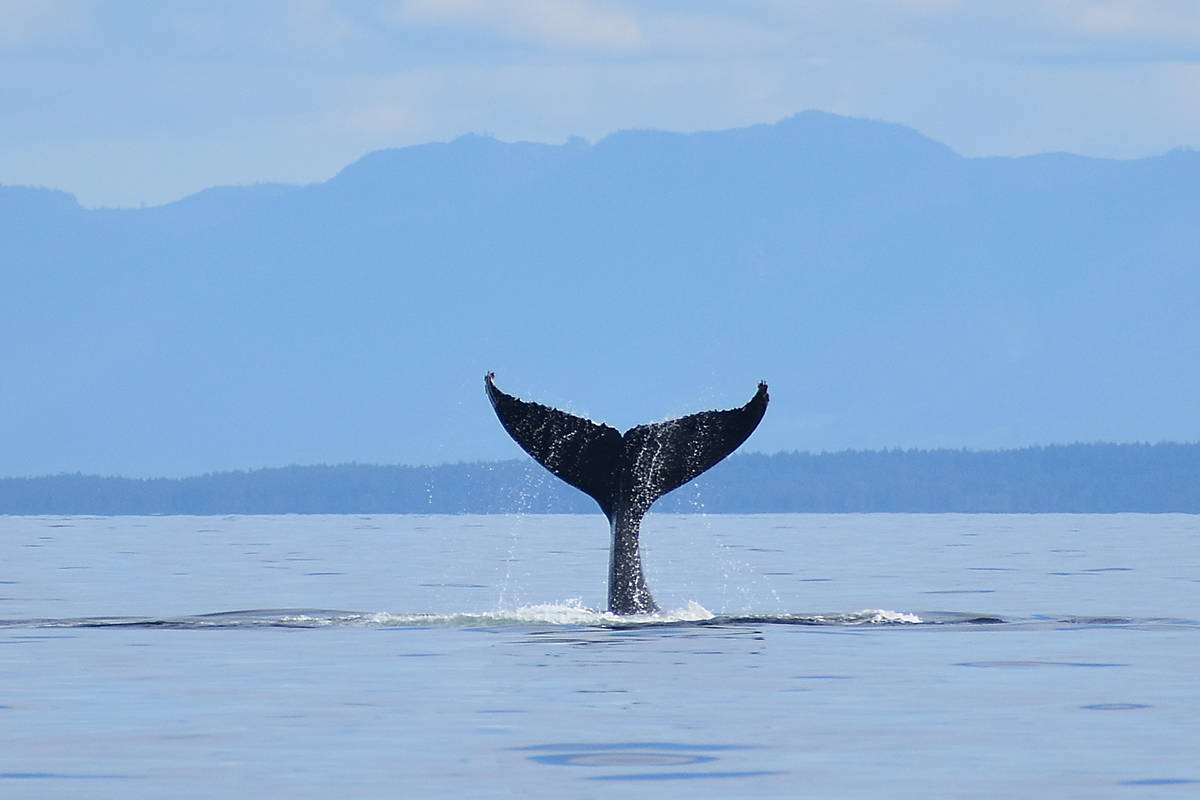 Another humpback 'going down.' Photo by Terry Farrell