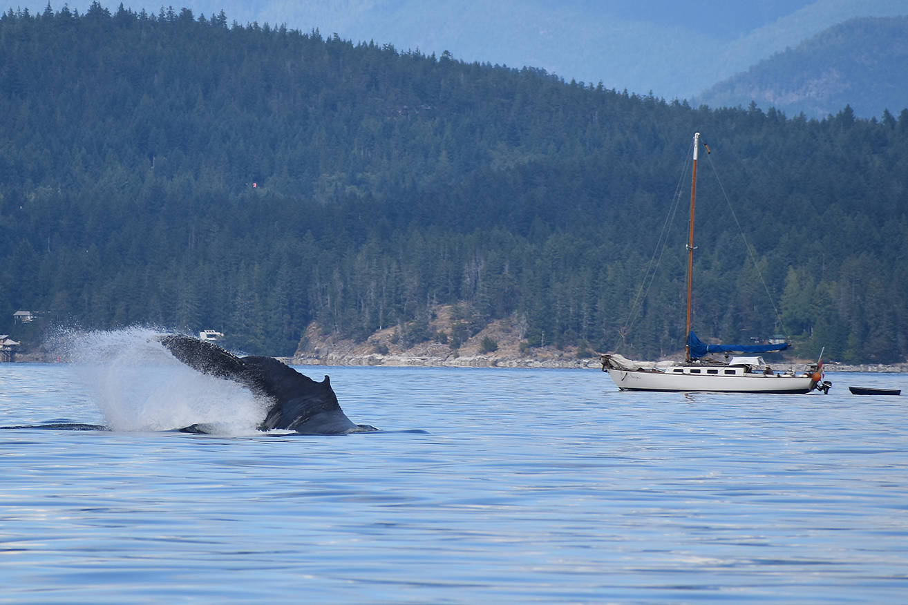 A humpback whale splashes around as a sailboat floats by. Photo by Terry Farrell
