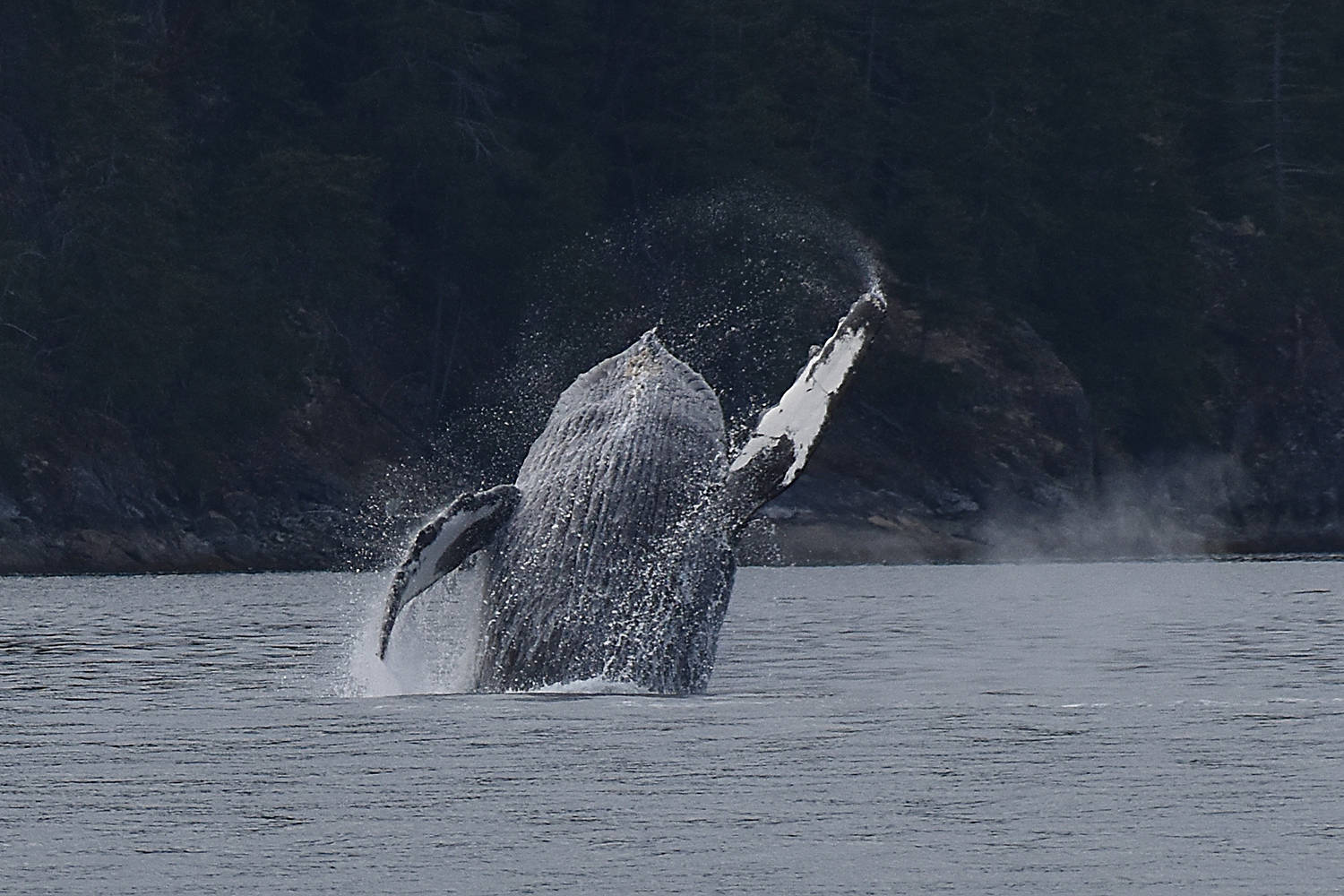 A humpback spotted just off Cortes Island breaches. This humpback breached several times, as it played by itself for nearly half an hour. Photo by Terry Farrell
