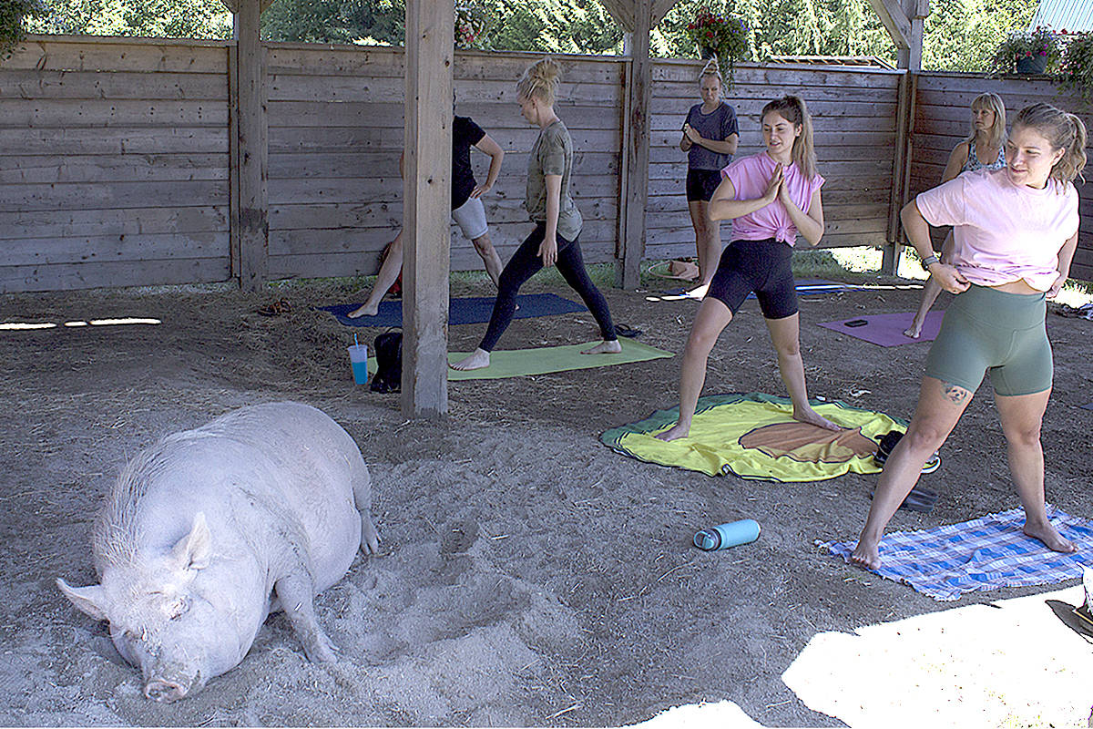 Happy Herd recently held a yoga session, where participants did their workout alongside some friendly turkeys, chickens, and pigs – including Lucy. (Shailee Shah/Special to Black Press Media)