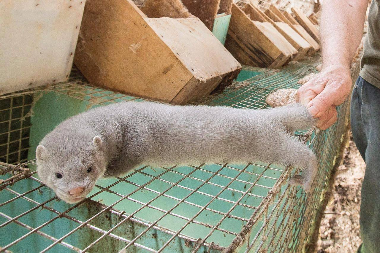A mink at a farm on July 9, 2015. THE CANADIAN PRESS/ Geoff Robins