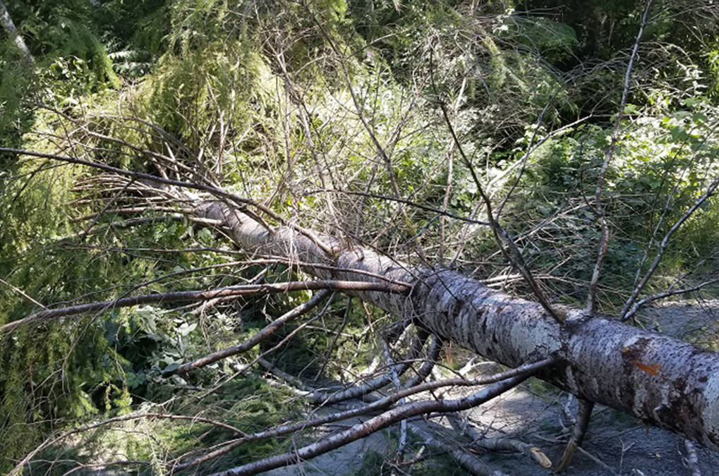 A young tree felled by protesters to block a road in the Fairy Creek area. (RCMP photo)