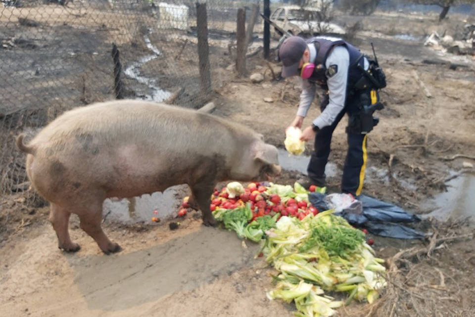Oliver RCMP Const. Walsh feeds a very hungry pig that was without a food source during recent evacuations from the Nk'Mip fire. (contributed)