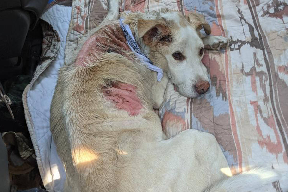 Seven-year-old Tonnerre is recovering from burns sustained in a South Okanagan wildfire. (BC SPCA image)