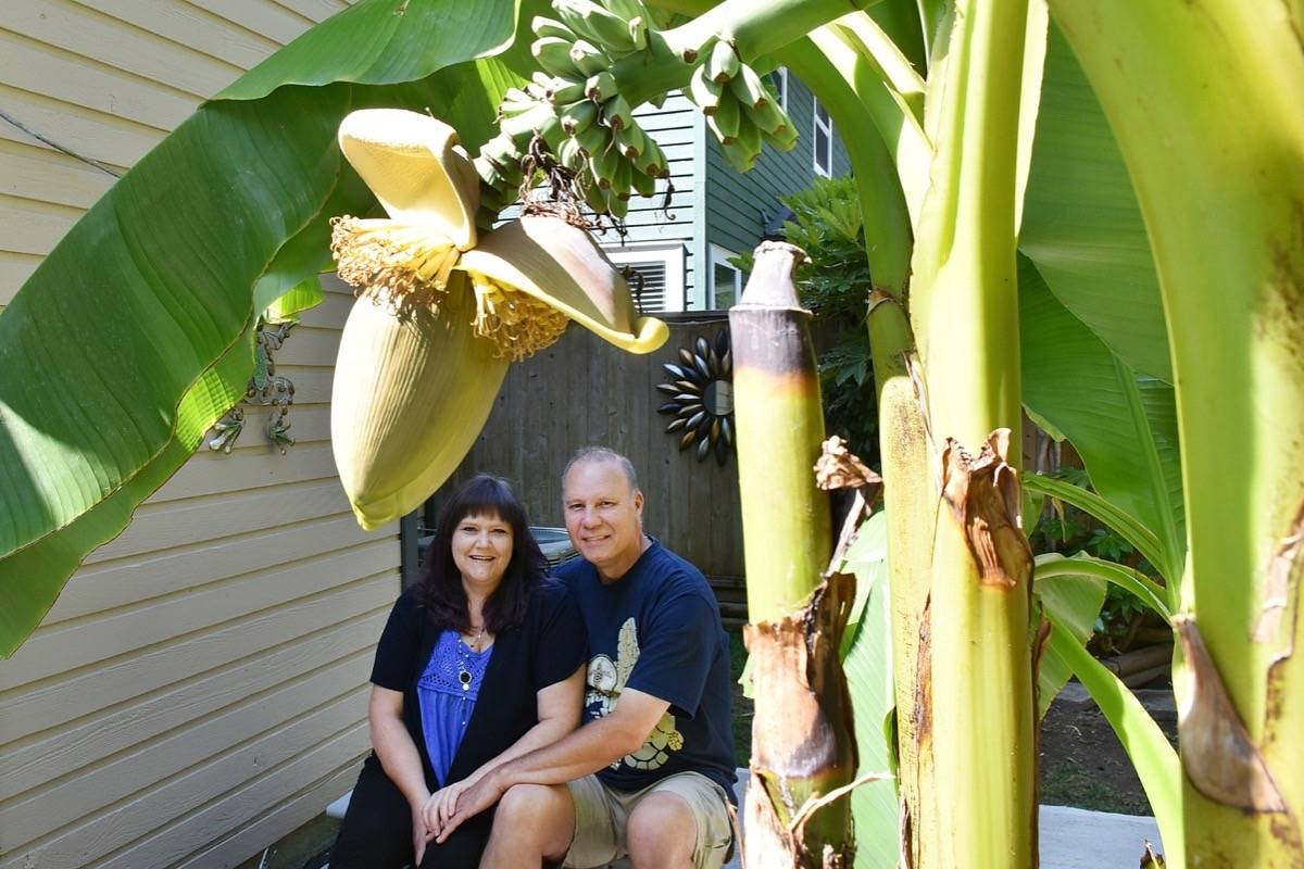 Dawn Goodman and Mike De Ruiter have a banana tree that is growing fruit in their backyard. (Colleen Flanagan/The News)