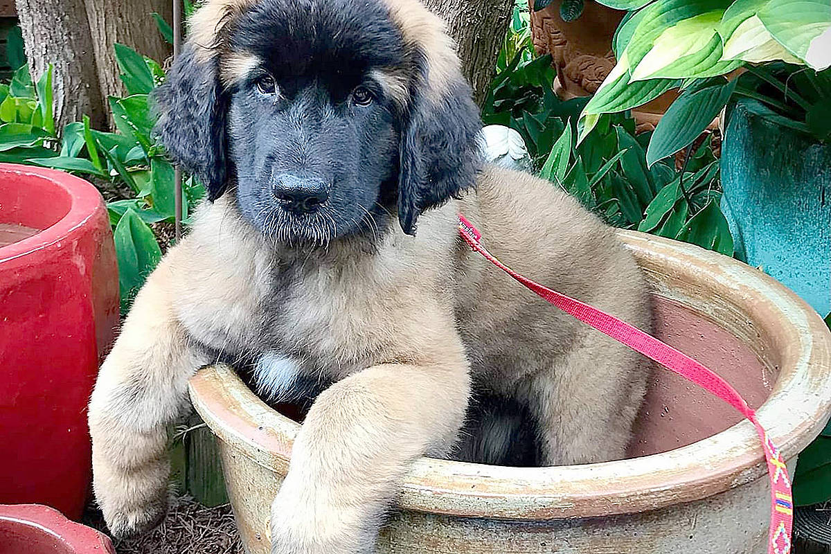 Sunny Sunny is a 12-week-old Leonberger, Pam Erikson's favourite dog. As can be seen by her size at that age, she's going to be a big girl, already filling that huge planter. (Pam Erikson/Langley Advance Times)