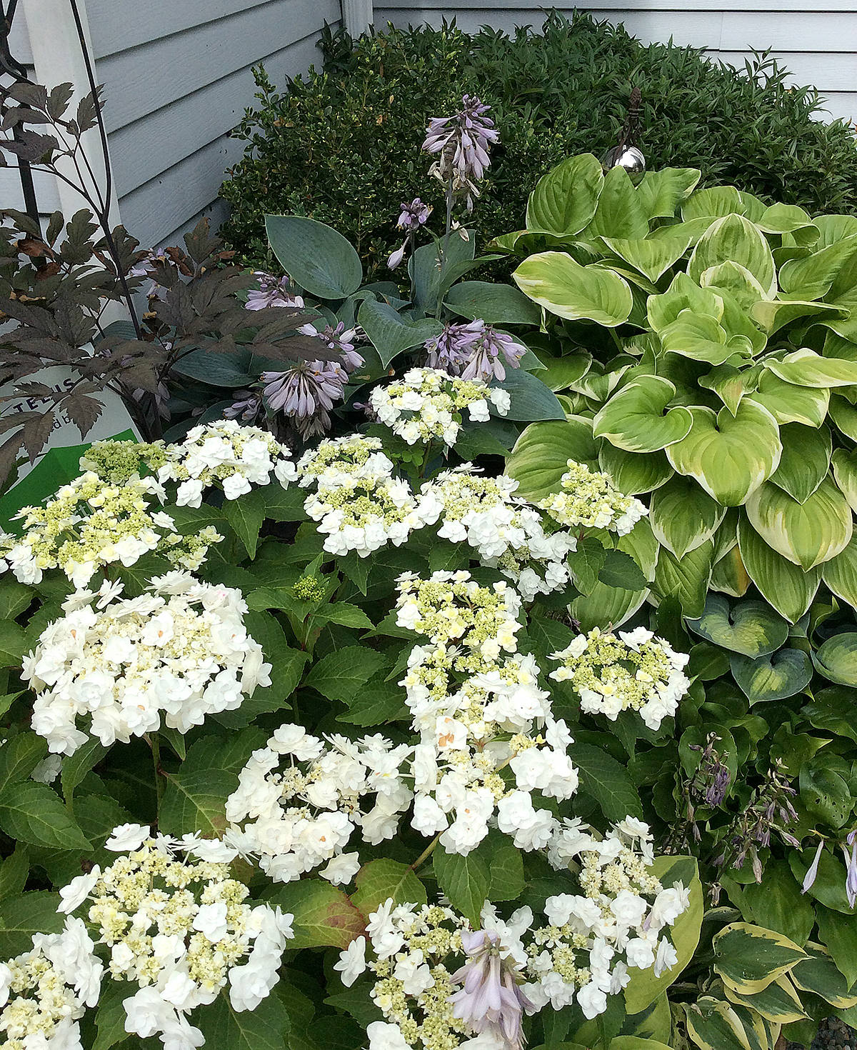 All these plants are growing in containers, and thriving this summer. (Pam Erikson/Langley Advance Times)