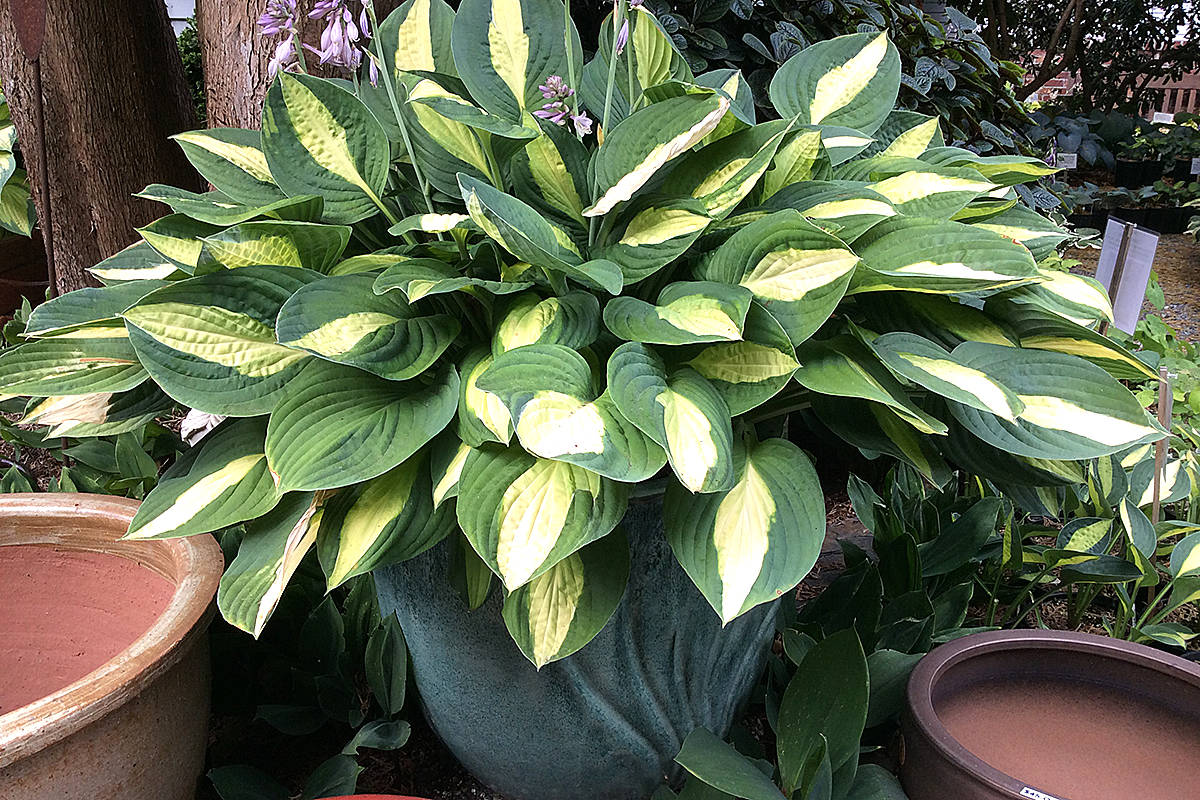 This hosta is in a deep pot and doing well in this summer heat – thank you very much. (Pam Erikson/Langley Advance Times)