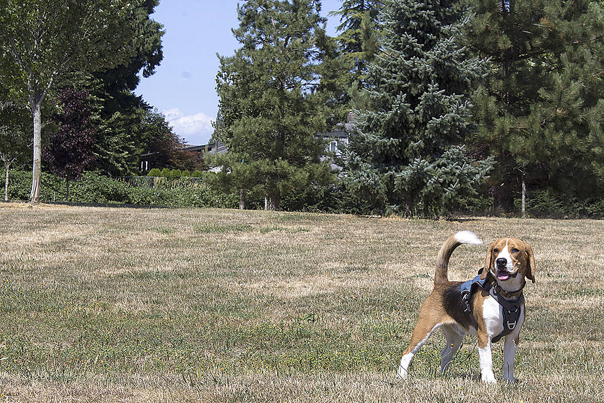 Beagles abound. At least 10 beagles played with one another at a recent canine meet-up in Langley. (Shailee Shah/Special to Langley Advance Times)