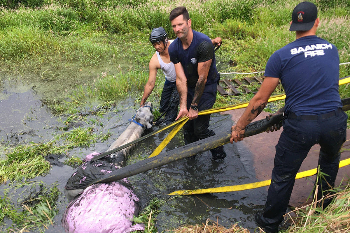 Saanich Fire Department worked hard to pull a horse from drowning in a mud bog on July 31 in Saanich. (Photo and video courtesy of Saanich Fire Department)