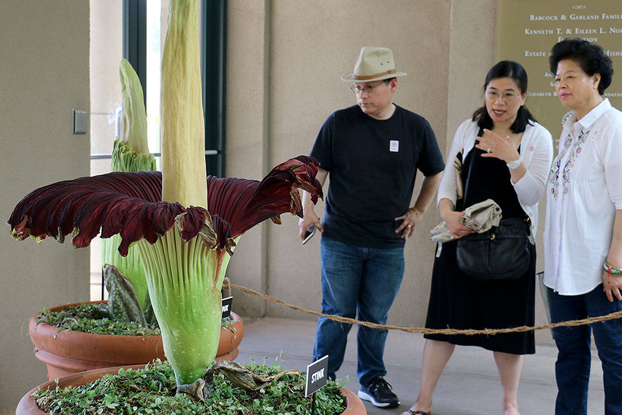 Visitors look at the so-called corpse flower, known for the rotten stench it releases when it blooms, at the Huntington Library in San Marino, Calif. (Ariel Tu/AP Photo)